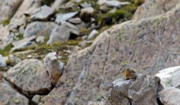 These little pika are all over the place making their presence known.
